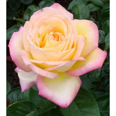 Троянда Глорія Дей (Gloria Dei)