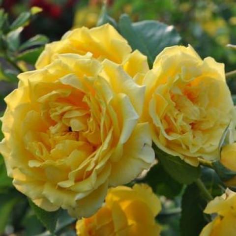 Роза Голден Гейт (Golden Gate)