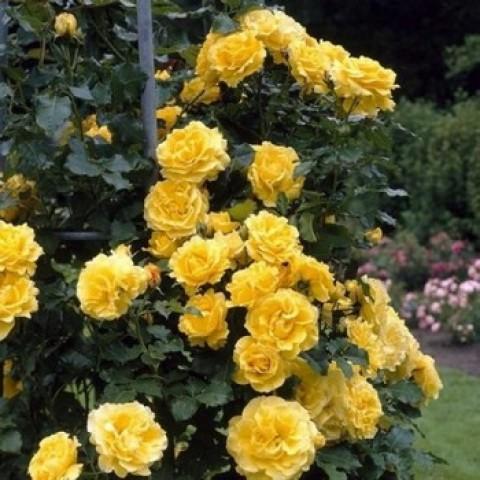 Роза Голден Шоуэрс (Golden Showers) (контейнер 3 л)