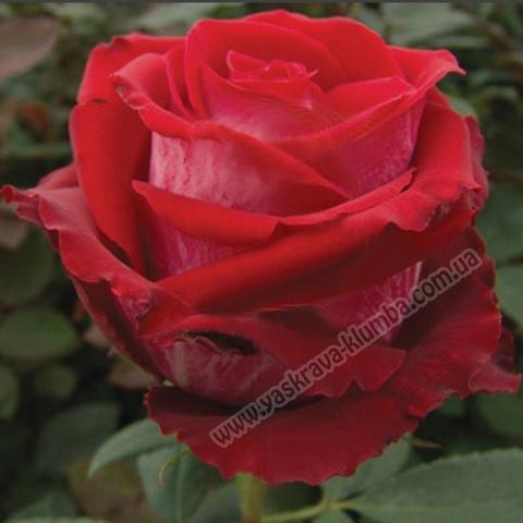 Троянда Госпель (Gospel)