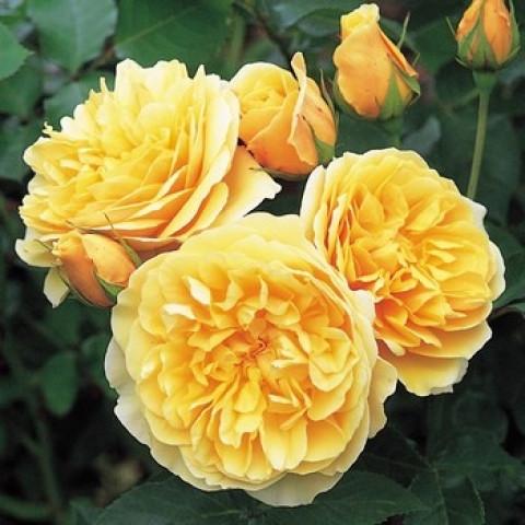Троянда Грехам Томас (Graham Thomas)
