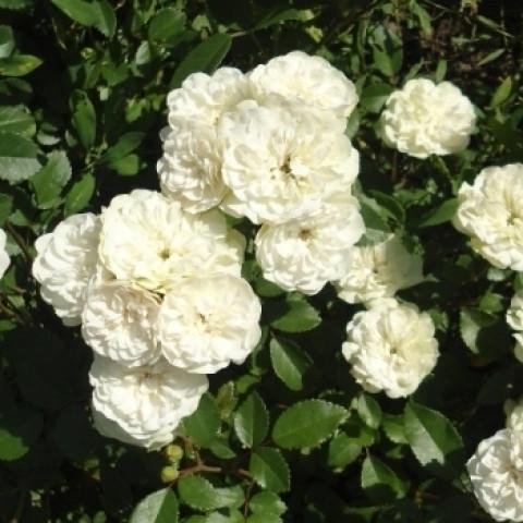 Троянда Грин Айс (Green Ice)