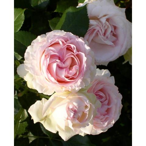 Роза Сердце розы (Heart of Rose)
