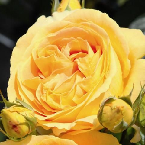Троянда Кендллайт (Candlelight) штамб Tantau