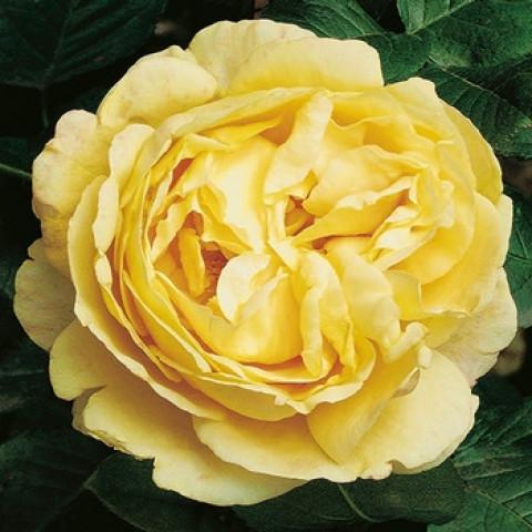 Роза Кэндллайт (Candlelight) штамб Tantau