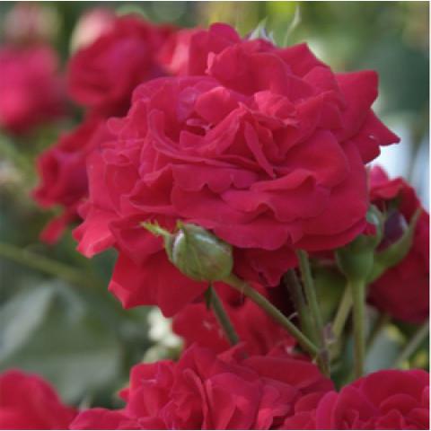Троянда Король Артур (King Arthur)