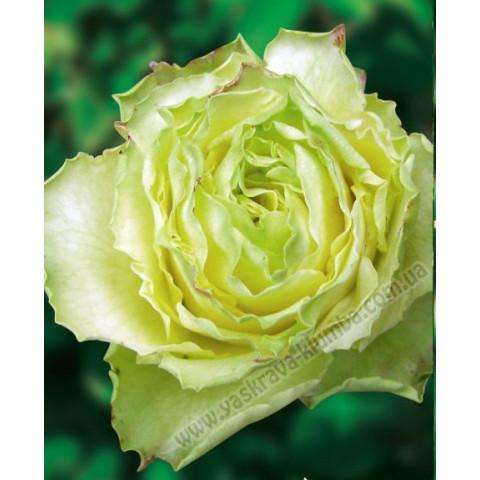 Троянда Ківі (Kiwi)