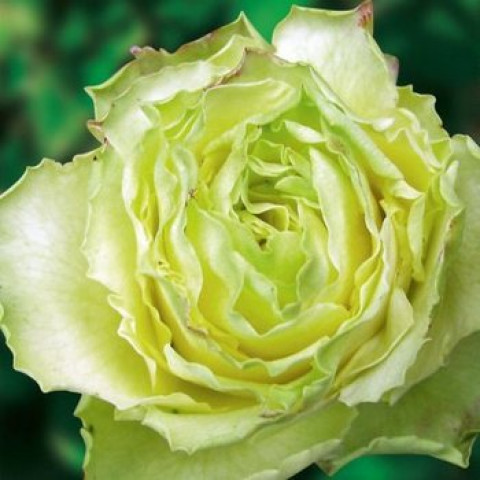 Роза Киви (Kiwi) (контейнер 3 л)