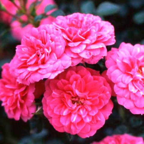 Троянда Кнірпс (Knirps) штамб