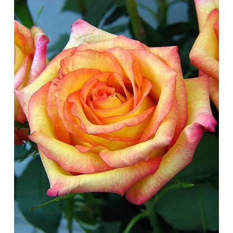 Троянда Конфеті (Confetti)