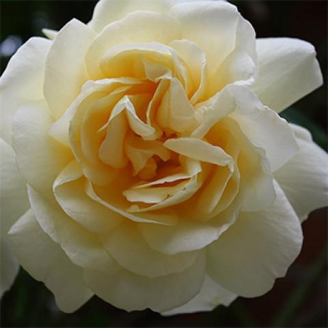 Роза Крем де ля Крем (Creme de la Creme)