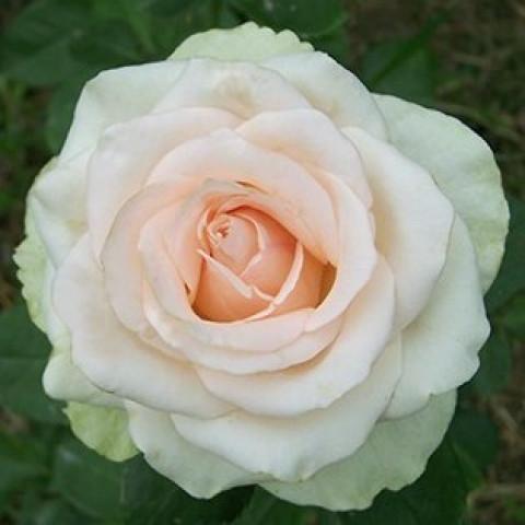 Троянда Ла Перла (La Perla)