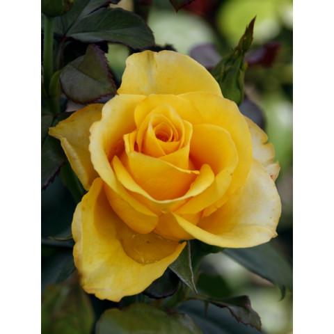 Троянда Ландора (Landora)