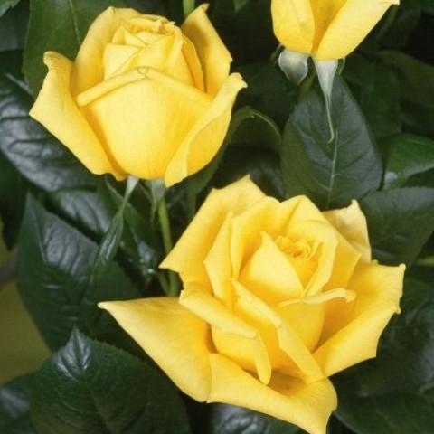 Троянда Ландора (Landora) штамб