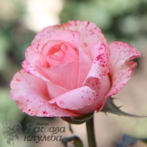Троянда Ленні (Lenny)