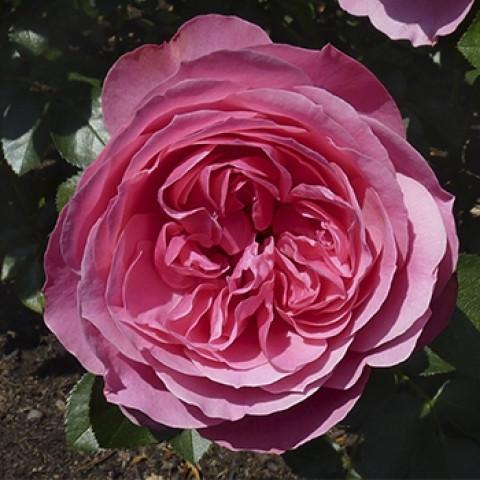Троянда Леонардо да Вінчі (Leonardo da Vinci)