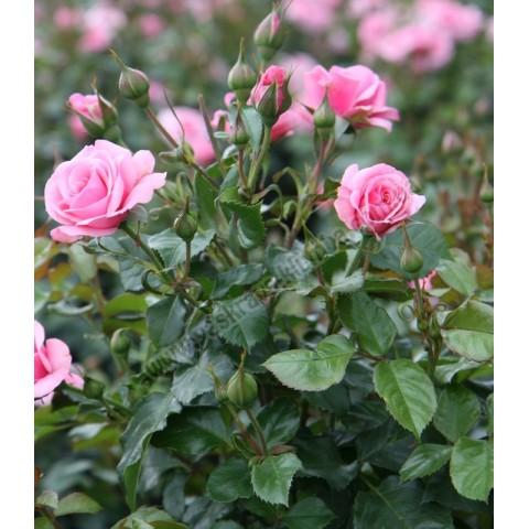 Троянда Лілі Марлен (Lili Marlene)