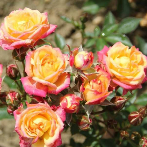 Троянда Літтл Сансет (Little Sunset)