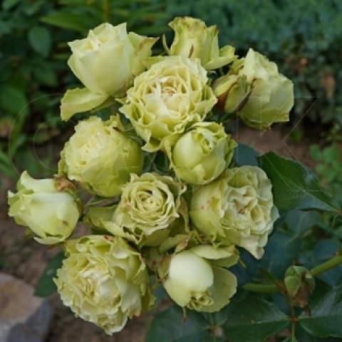 Роза Лувиана (Luviana)