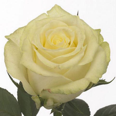 Троянда Магаді (Magadi)