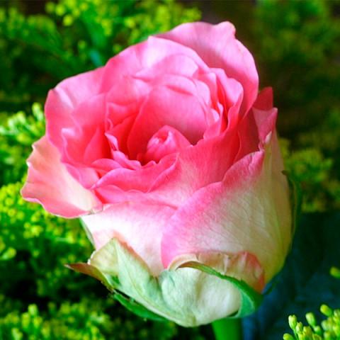 Роза Малибу (Maliby)