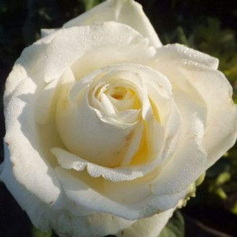 Троянда Маруся (Marusia)