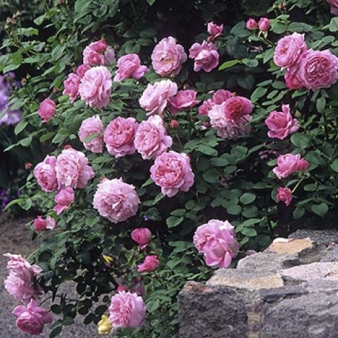 Троянда Мері Роуз (Mary Rose)