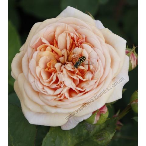 Троянда Містер Гамільтон (Mister Hamilton)
