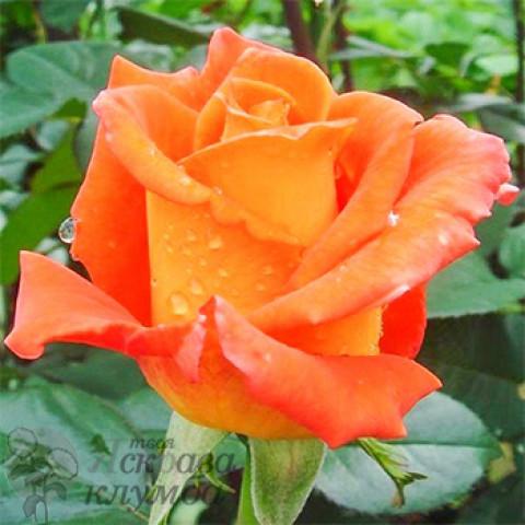 Троянда Моніка (Monika)