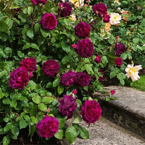 Троянда Мунстед Вуд (Munstead Wood)
