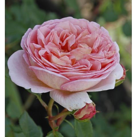 Троянда Ніжність (Subtlety) new