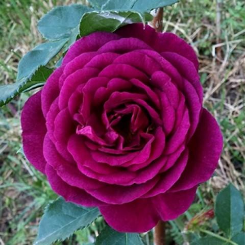 Троянда Нью Ейдж (New Age)
