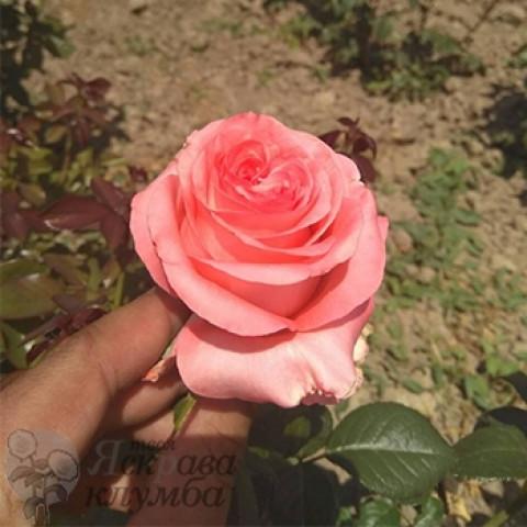 Троянда Ноблес (Noblesse)