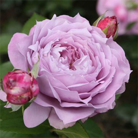 Троянда Новаліс (Novalis)