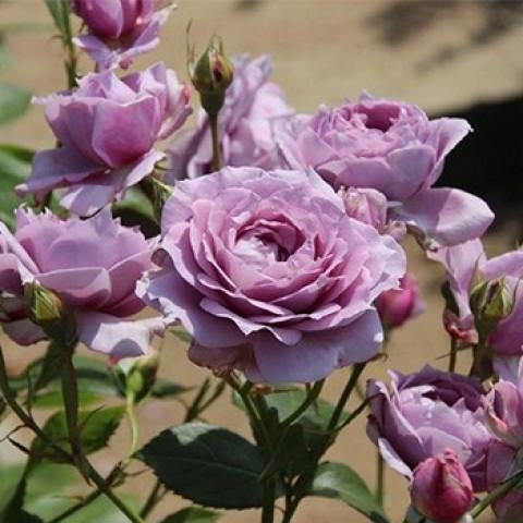 Роза Новалис (Novalis)