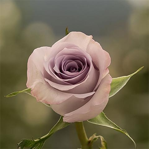 Роза Оушен Сонг (Ocean Song)