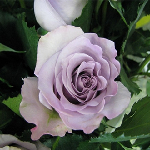 Троянда Оушен Сонг (Ocean Song)