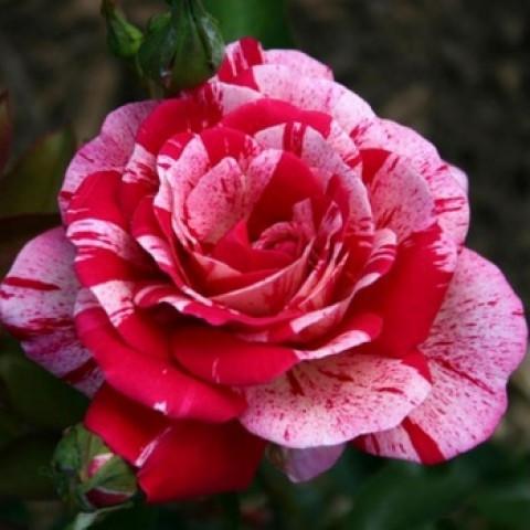 Роза Пападжена (Papagena)