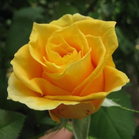 Троянда Папілон (Papillon)
