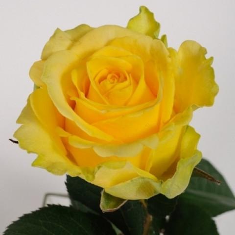 Троянда Пенні Лейн (Penny Lane)