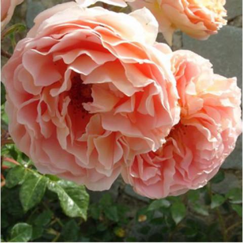 Троянда Персикове диво (Peach Miracle) new