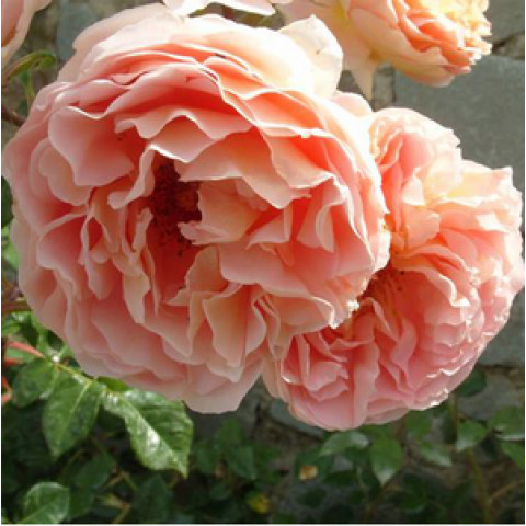 Роза Персиковое чудо (Peach Miracle) new