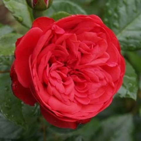 Троянда Піано (Piano) штамб Tantau