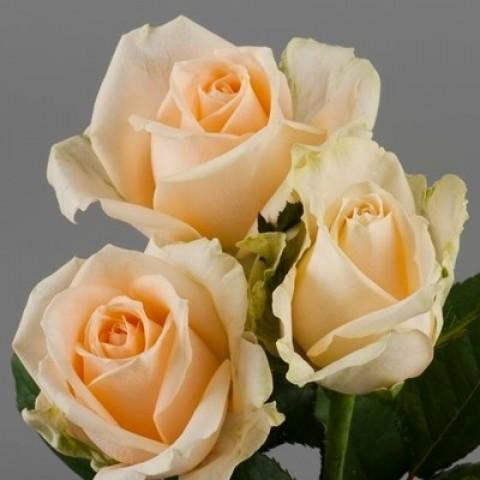 Роза Пич Аваланш (Peach Avalanche)
