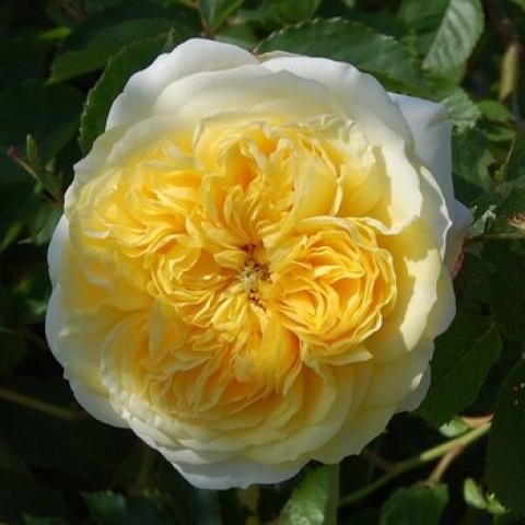 Роза Пилигрим (Pilgrim)