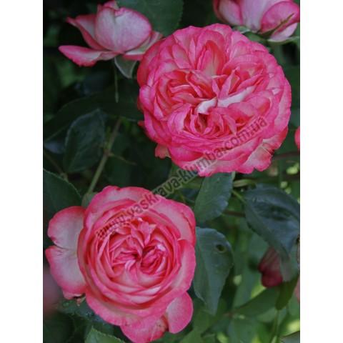 Троянда Рожевий Лід (Pink Ice)