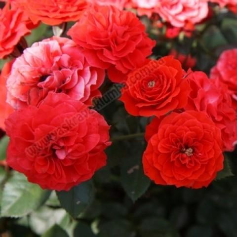 Роза Закат (Sunset) (контейнер 3 л)