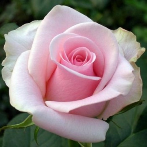 Троянда Рафаелла (Raffaella)