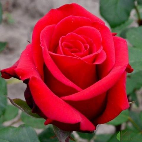 Троянда Ред Берлін (Red Berlin)