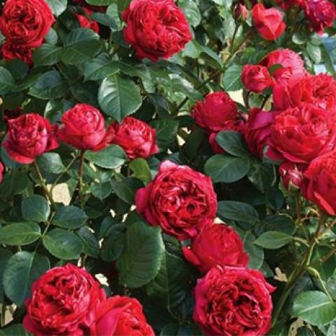 Роза Ред Эден Роуз (Red Eden Rose)